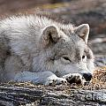 Arctic Wolf Pictures 526 by World Wildlife Photography