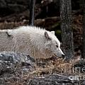 Arctic Wolf Pictures 541 by World Wildlife Photography