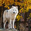 Arctic Wolf Pictures 709 by World Wildlife Photography