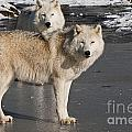 Arctic Wolf Pictures 812 by World Wildlife Photography
