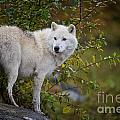 Arctic Wolf Pictures 922 by World Wildlife Photography