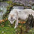 Arctic Wolf Pictures 927 by World Wildlife Photography