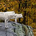 Arctic Wolf Pictures 930 by World Wildlife Photography