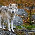 Arctic Wolf Pictures 942 by World Wildlife Photography
