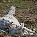 Arctic Wolf Pictures 996 by World Wildlife Photography