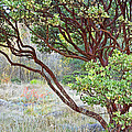 Arctostaphylos Hybrid by Kate Brown