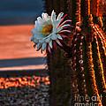 Argentine Cactus by Robert Bales