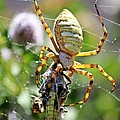 Argiope Spider And Grasshopper Vertical by Sheryl Young