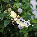 Argiope Spider Top Side Horizontal by Sheryl Young