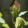 Arisaema Triphyllum Jack-in-the-pulpit by Rebecca Sherman