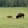 Arizona Bison by Laurel Powell