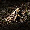 Arizona Horned Lizard by John Timble