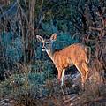 Arizona Deer Sunset by Henry Kowalski