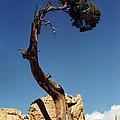 Arizona Tree