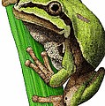 Arizona Tree Frog by Roger Hall