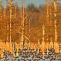 Arkansas Ducks by Kevin Pugh
