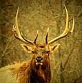 Arkansas Elk by Linda Fowler
