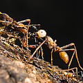 Army Ant Carrying Cricket La Selva by Konrad Wothe