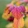 Arrowwood Leaf - Featured 3 by Alexander Senin