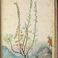 Artemisia Abrotanum by British Library