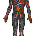 Arteries And Veins Of The Human Body by TriFocal Communications