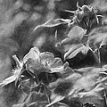 artistic painterly Black and white monochromatic two dogroses summer 2014 by Leif Sohlman