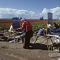 Artists Painting Tulip Fields Standing In A Row  by Jim Corwin
