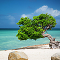 Aruba Tree by Brian Jannsen