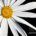 As Bright As A Daisy... by Kaye Menner