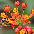 Asclepias Curassavica And Bee by Olga Hamilton