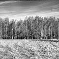 Ashdown Forest Trees In A Row by Natalie Kinnear