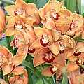 Asian Corsage Orchid by Sonali Gangane