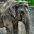 Asian Elephant  0a by Michael Frank Jr