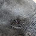 Asian Elephant Face by Colin Smeaton