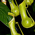 Asian Pitcher Plant by Millard H. Sharp