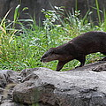 Asian Small Clawed Otter - National Zoo - 01135 by DC Photographer