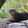 Asian Small Clawed Otter - National Zoo - 01137 by DC Photographer