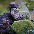 Asian Small Clawed Otter by Nick  Biemans