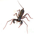 Asian Whipscorpion by Francesco Tomasinelli