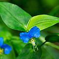 Asiatic Dayflower by Bill Pevlor