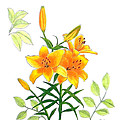 Asiatic Hybrid Lily by Laura Wilson
