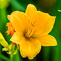 Stella De Oro Lilly by Elvis Vaughn