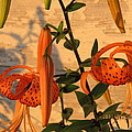 Asiatic Tiger Lily by Tina M Wenger