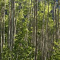Aspen Along Independence Pass  by Jacqueline Russell