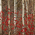 Aspen And Berries by Diana Marcoux