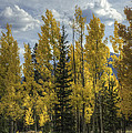 Aspen And Evergreen by David Waldrop