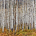 Aspen And Ferns by Gary Benson
