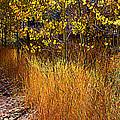 Aspen And Grass by Lynn Bawden