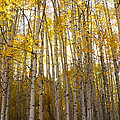 Aspen Autumn by Kelly Black