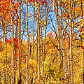 Aspen Fall Foliage Portrait Red Gold And Yellow  by James BO Insogna